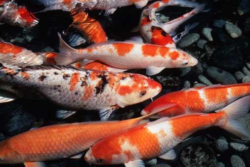 Sức khỏe của cá Koi