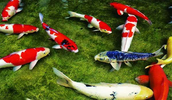 Cá chép Nhật mang lại nhiều may mắn cho chủ nhân