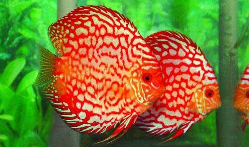hướng dẫn cách lý cá dĩa mới
