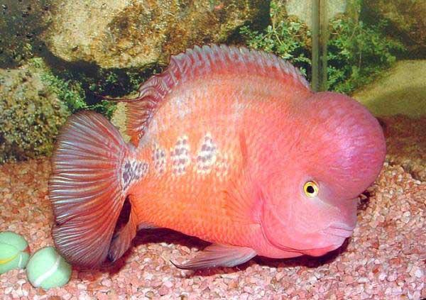 Pân biệt giới tính cá la hán