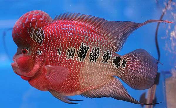 đặc điểm sinh học và kỹ thuật nuôi cá la hán