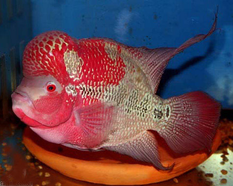 Chăm sóc cá La Hán
