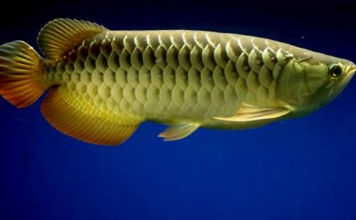 cá rồng nhanh lên màu