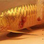 Bệnh thường gặp ở cá Rồng