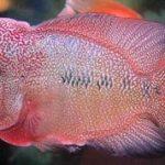 Kỹ thuật để cá La Hán lên màu, lên đầu