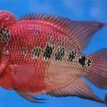 Cá La Hán – đặc điểm sinh học và kỹ thuật nuôi
