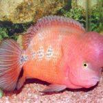 Cách nào phân biệt giới tính cá La Hán
