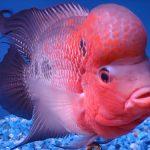 Bệnh thường gặp ở cá La Hán và cách chữa trị