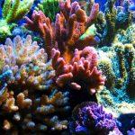 Sự thích nghi của san hô trong bể cá cảnh